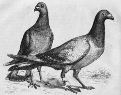 pigeon_messengers_engraving.jpg