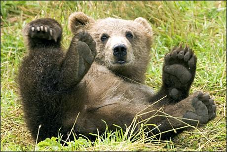 brown_bear_3.png