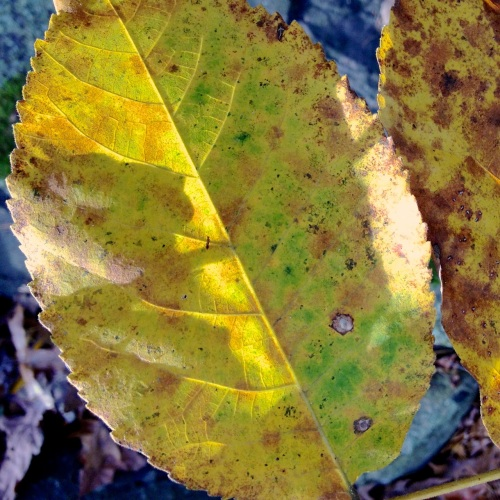 yellowish leaf