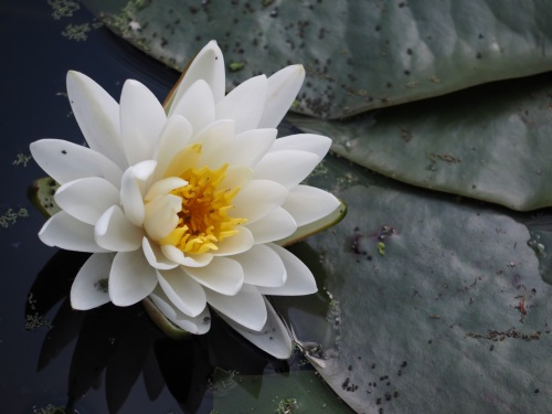 Water Lilies Collecting Tokens