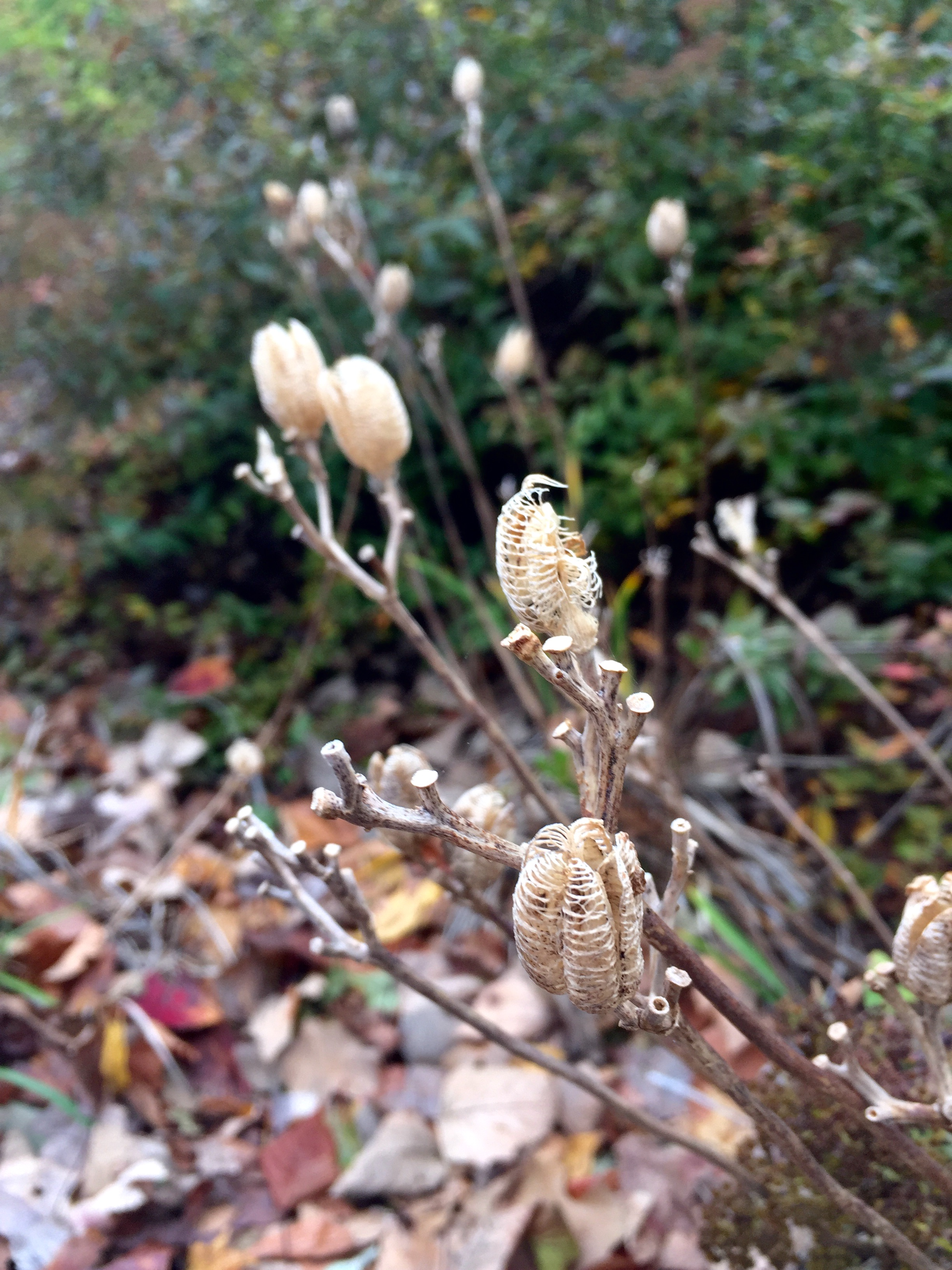 lily-seed-pods