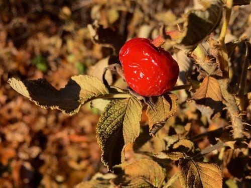 shrivelled-rosehip