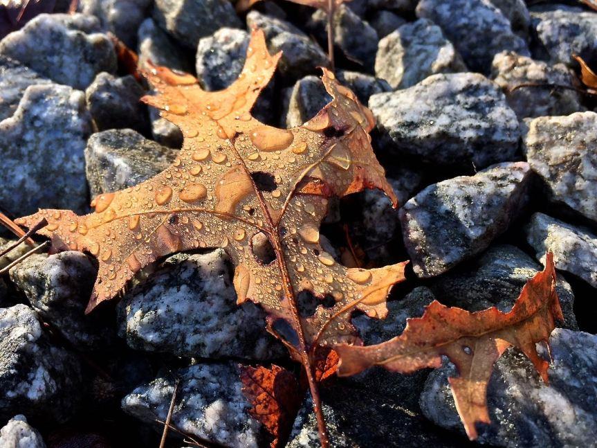 oak-leaf-water-drops