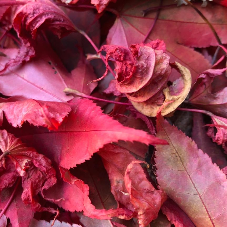 leaf-corkscrew-curl