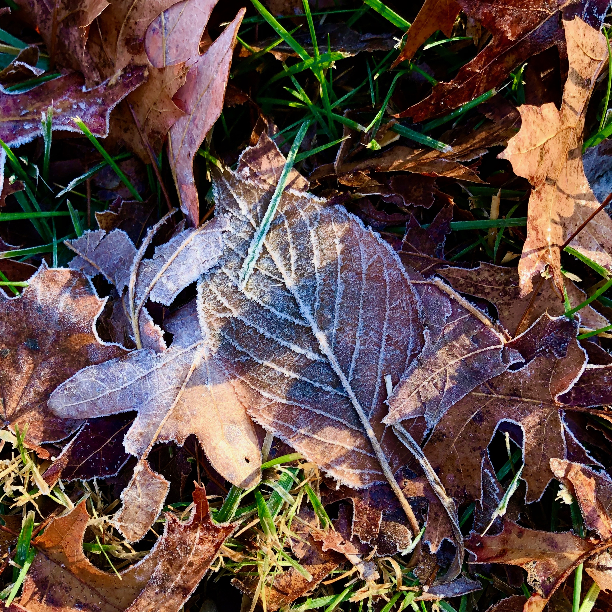 frost-outlined-leaves3