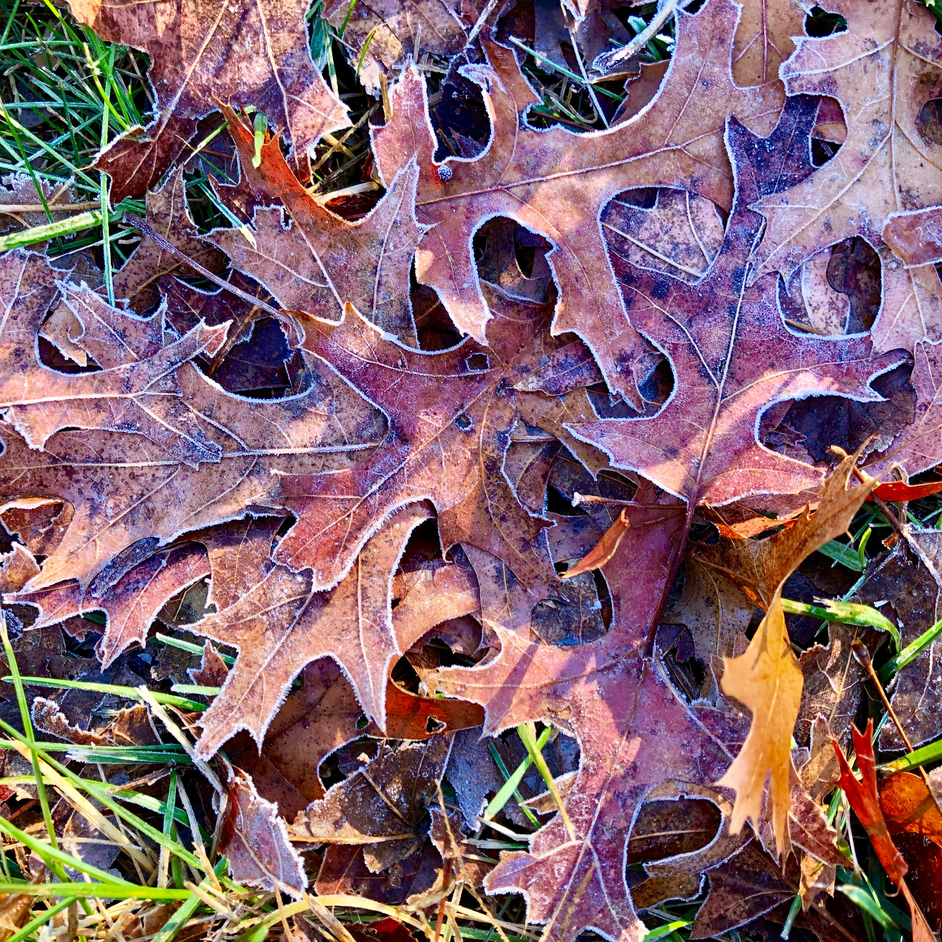 frost-outlined-leaves4