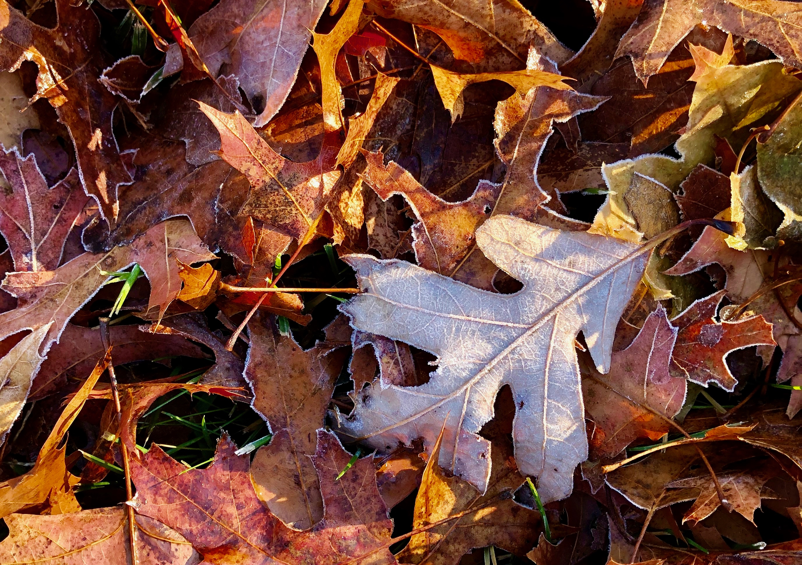 frost-outlined-leaves5
