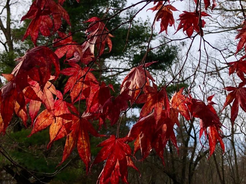 japanese-maple1