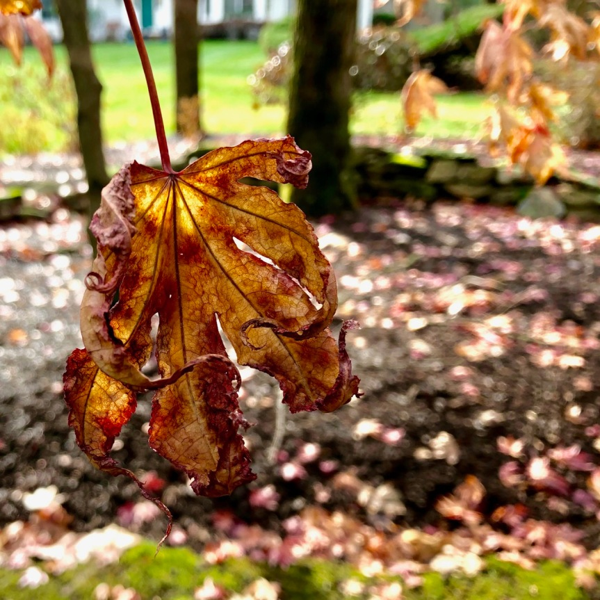 japanese-maple4