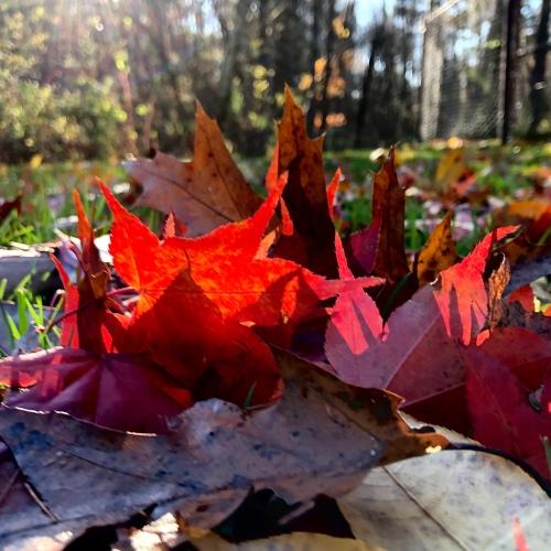 leaves-in-morning-light-110119
