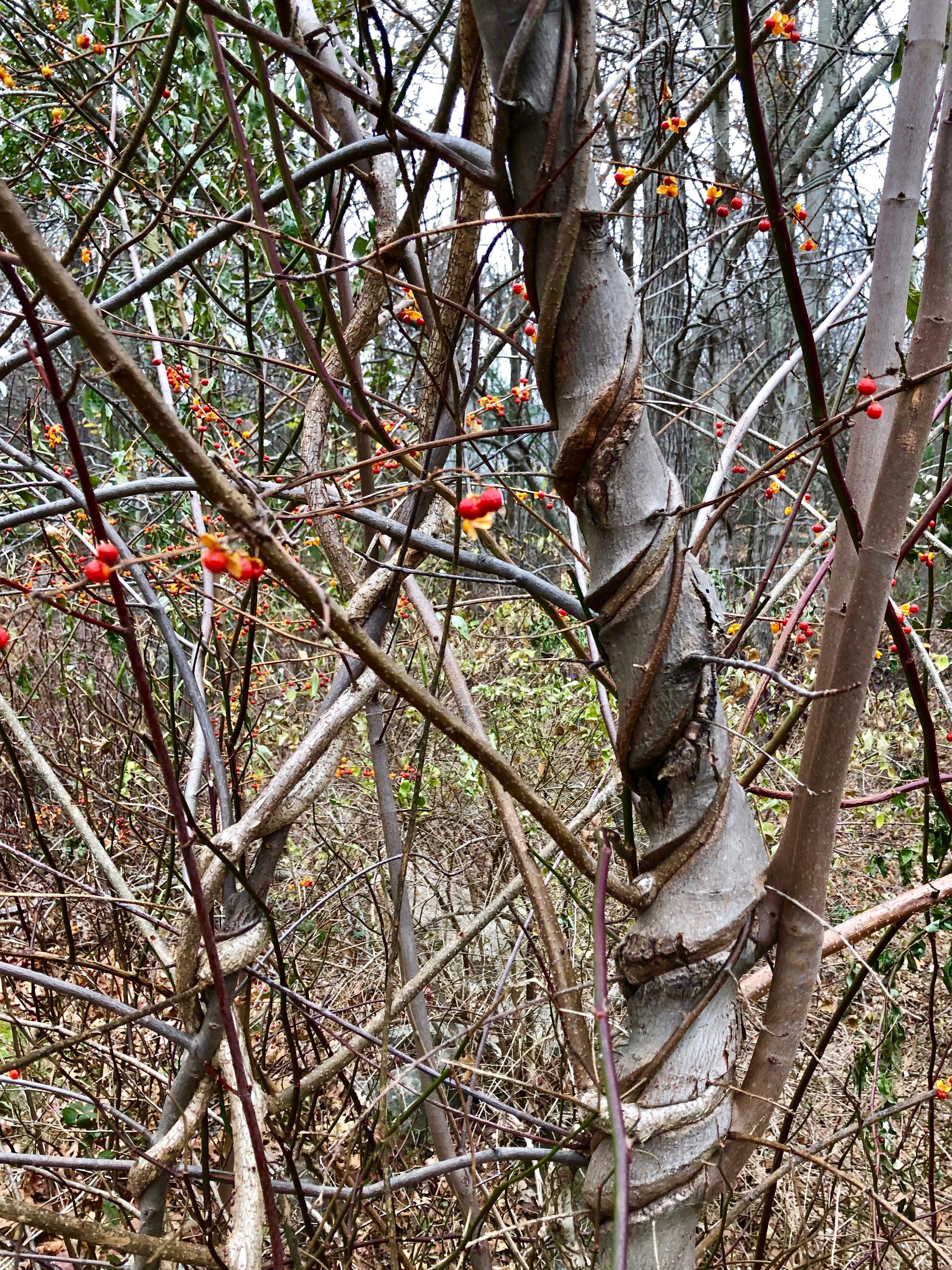 strangled-tree