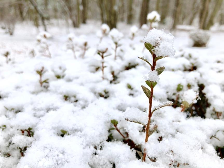 shrubbery-snow