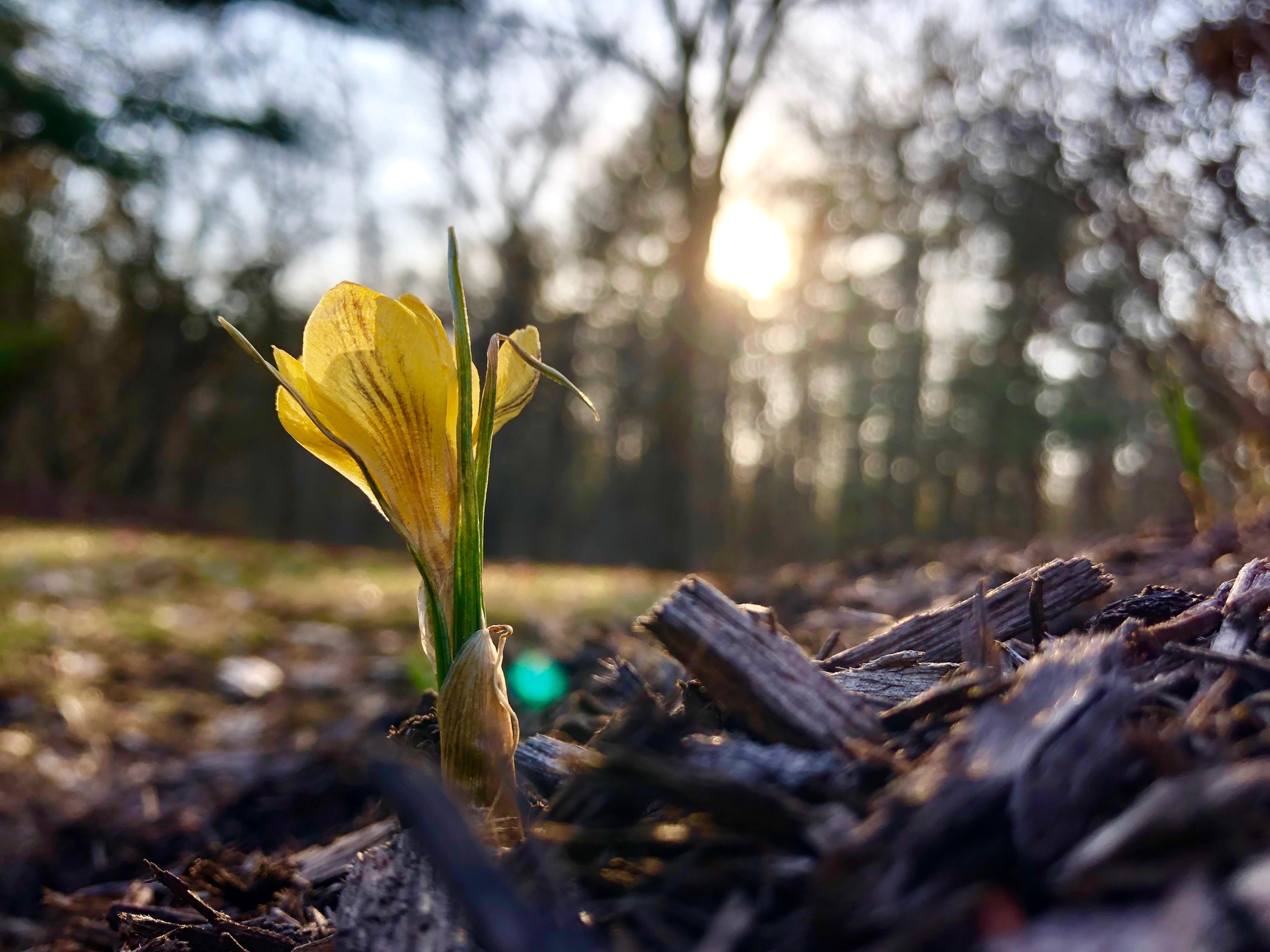 yellow-crocus-in-sun